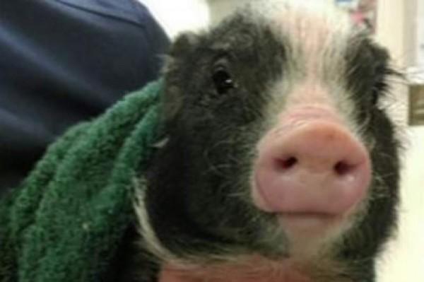 Janice the pig